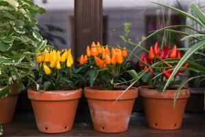 Ljute paprike mogu da prezime - kako ih sačuvati do proleća?