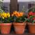 Ljute paprike mogu prezimiti - kako ih očuvati do proljeća?