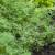 Od mirođije se prave eterična ulja i začini, a najbolje uspeva na dubokim i plodnim zemljištima