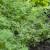 Od kopra se prave eterična ulja i začini, a najbolje uspijeva na dubokim i plodnim tlima