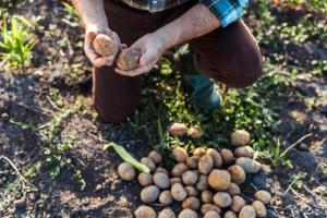 Smeđa trulež krumpira - kako je prepoznati i suzbiti