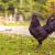 Crna kokoška: Jedna od najskupljih domaćih životinja na svetu