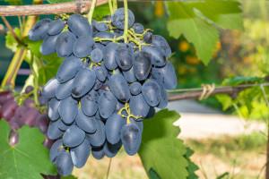 U trendu su sorte grožđa bez sjemenki - prednjače talijanski proizvođači