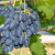 U trendu sorte grožđa bez semenki - prednjače italijanski proizvođači
