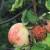 Kemijski spojevi koje izlučuju mravi učinkoviti protiv truleži voća i drugih bolesti?