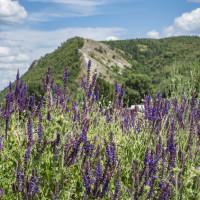 Kadulja cvjeta, ali ne medi: Suša na Lošinju ugrozila pčele i pčelare?