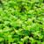 Uzgoj korijandera - pripremite tlo u februaru