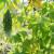 Lekovita gorka dinja lako se uzgaja