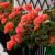 Koje balkonsko cveće voli sunce, a koje hladovinu?
