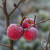 Zaštitite organe jabuke od mraza