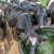 Visoke temperature pogubne za stoku: Držite ju u hladu i osigurajte dovoljno vode