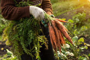 Povrtarski radovi u novembru - sijanje, sadnja, čišćenje i priprema vrta za zimu