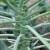 Uzgoj kelja - povrća za zimsku potrošnju, čiji su i listovi jestivi
