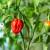 Uzgojena najljuća bugarska paprika - 1. mjesto u svijetu još uvijek zauzima Carolina Ripper
