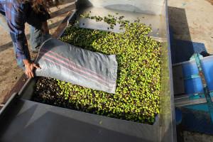 Otpad od prerade maslina, suncokreta i biljni šećeri budućnost izrade bioplastike?