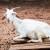 Kozji stajnjak može se koristiti i svjež, ali je bolje kompostirati ga