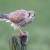 Glodavci na polju? Primamite ptice grabljivice ili štetnike odbijte biljkama i mamcima