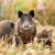 Kukuruz propada na poljima - zbog afričke svinjske kuge ne mogu u berbu