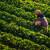 Prisiljene brati jagode u katastrofalnim uvjetima jer su pogrešno informirane?