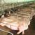 Ponovo odloženo glasanje o boksevima za svinje - farmeri strahuju zbog mogućih troškova