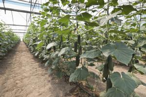 Uzgoj krastavaca na slami
