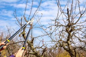 Kada je pravo vreme za rezidbu voća i kako se ona obavlja?
