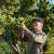 Kako napraviti rakiju od dunje ili jabuke?
