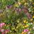 Divlje cvijeće: Rješenje za pčele, sušu, kvalitetu tla i - poljoprivrednike