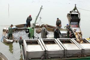Živan Simić 33 godine uzgaja ribe u Mošorinu