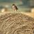 Saveznici u suzbijanju glodavaca na polju su njihovi prirodni neprijatelji - ptice grabljivice