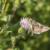 Moljci imaju veliku ulogu u oprašivanju biljaka