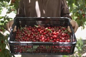 Otkupne cijene trešnje 3.5, ali zato maloprodajne idu i do 7 KM!