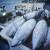 Rasprava počela: Ribolovne mogućnosti i kvote za plavoperajnu tunu