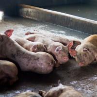 Stravični prizori: Zatvorili farmu i ostavili svinje da uginu