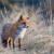 Započela je oralna vakcinacija lisica - vidite li mamce, nemojte ih dirati