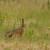 U lovište u Rudicama kod Novog Grada pušteno 25 divljih zečeva