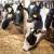 U govedarstvu su samodostatni, a otkup mlijeka i mesa u Sloveniji obavljaju zadruge