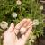 U toku berba maka - široka upotreba semenki
