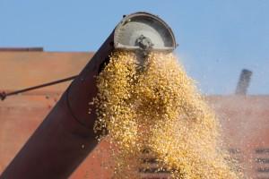 Na Produktnoj berzi poskupeo kukuruz