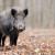 Čovjek odgovoran za unošenje ASK među divlje svinje - potrebno zajedničko djelovanje