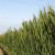 Za prihranu pšenice pred klasanje primijenite otopinu Uree