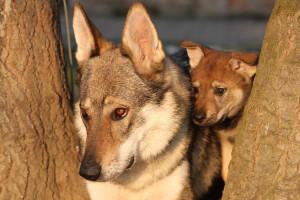 Evropa nema zajednički plan oko ukrštanja vukova i pasa