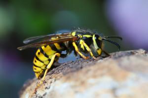 Suzbijanje nemačke ose, jedne od najagresivnijih insekata te vrste