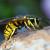 Suzbijanje ose zemljarice, jedne od najagresivnijih kukaca te vrste