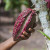 Djeca beru kakaovac mačetama, koriste insekticide bez zaštite i rade za 6,5 kn dnevno