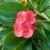 Hristov trn - cvet dugotrajnog cvetanja i skromnih zahteva