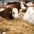 Konkurs: Za opremanje stočarskih farmi u Vojvodini 80 miliona dinara