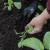 U toku je sjetva kupusa - obezbjedite dovoljno vlage i zaštitite mlade biljke
