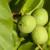 Orahova muha uništava plodove - ne postoje registrovani insekticidi?