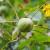 Siva pjegavost oraha može uništiti oko 80% plodova i uzrokovati ranu defolijaciju